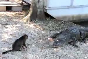 Cat vs alligator