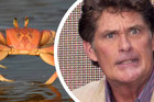 The Hoff Crab