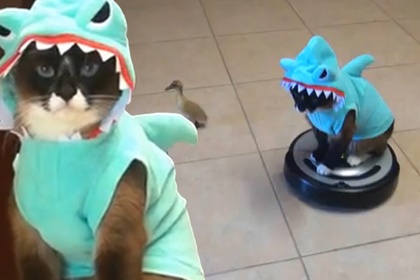 Cat in a shark costume chases a duckling while riding a roomba