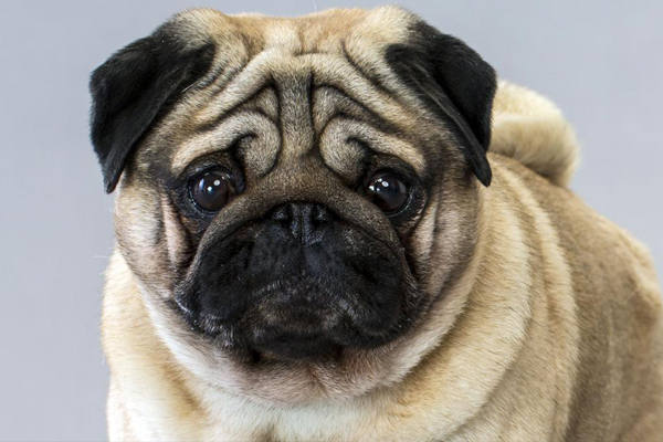 Vets want everyone to stop buying pugs